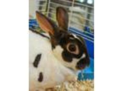 Adopt Speckles a White Other/Unknown / Other/Unknown / Mixed rabbit in Aiken