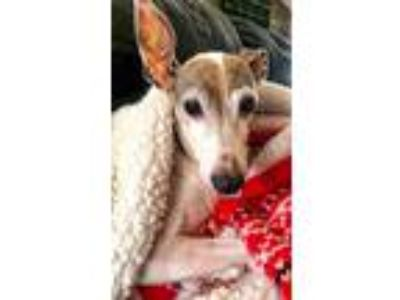 Adopt Louis a Italian Greyhound