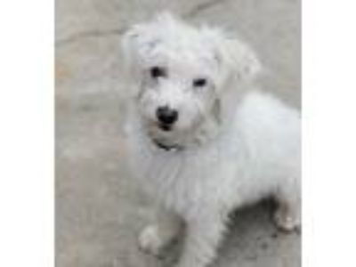 Adopt Coconut a Terrier, Poodle