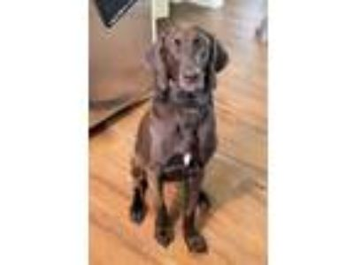 Adopt Nora a Brown/Chocolate Bloodhound / Labrador Retriever / Mixed dog in