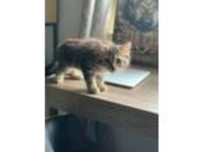 Adopt Joanie a Domestic Medium Hair