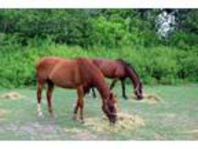 Adopt Chevy a Thoroughbred
