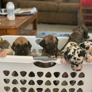 Great Dane puppies