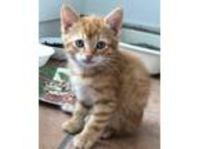 Adopt Bowzer a Domestic Shorthair / Mixed cat in Tallahassee, FL (25302485)