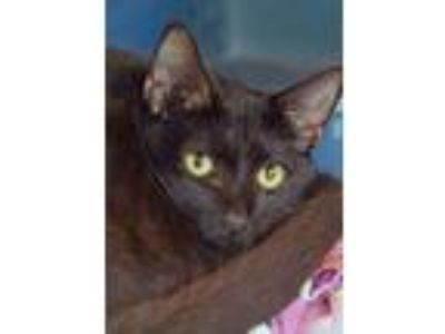 Adopt 10319922 a Domestic Short Hair