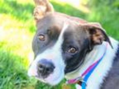 Adopt PETUNIA a Black - with White American Pit Bull Terrier / Boxer / Mixed dog