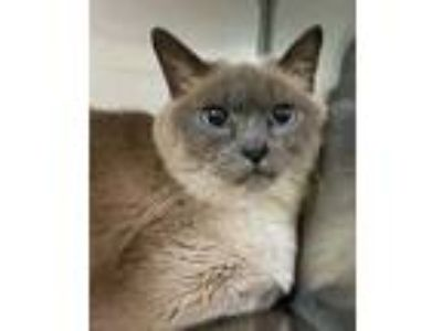 Adopt Cherie a White Siamese / Domestic Shorthair / Mixed cat in Noblesville