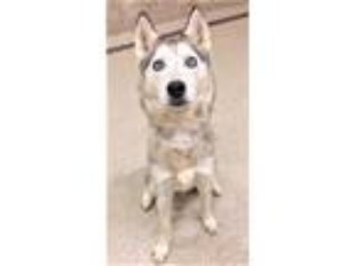 Adopt Laska a Gray/Silver/Salt & Pepper - with White Husky / Mixed dog in