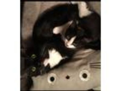 Adopt Bert & Ernie a Black & White or Tuxedo Domestic Mediumhair cat in San