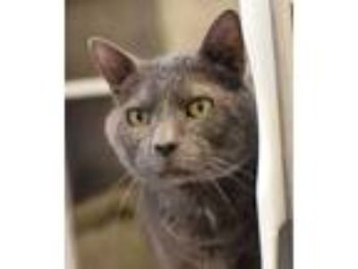 Adopt Smoky a Gray or Blue Domestic Shorthair (short coat) cat in Columbia