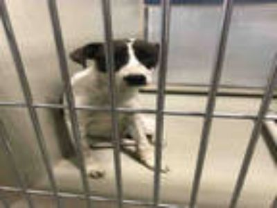Adopt a White - with Tan, Yellow or Fawn Border Collie / Mixed dog in