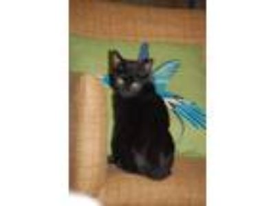 Adopt Purdy a Domestic Short Hair
