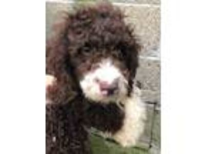 Adopt Billy a Labradoodle dog in Manhattan, NY (25931932)