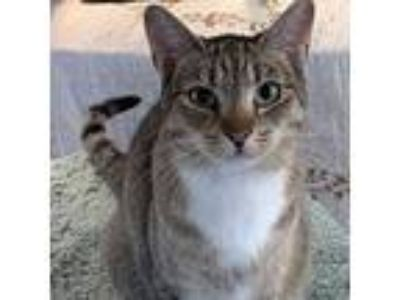 Adopt Gill a Gray, Blue or Silver Tabby Domestic Mediumhair / Mixed cat in