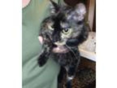 Adopt Shirley (adult female) a Domestic Short Hair, Tortoiseshell