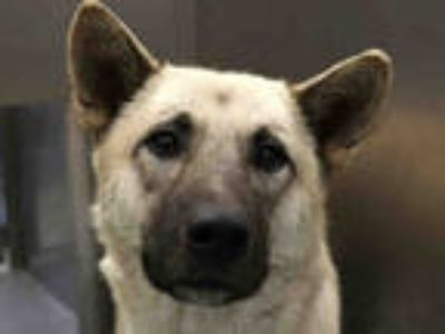 Adopt MOCHA a Tan/Yellow/Fawn - with White Akita / Mixed dog in Dallas