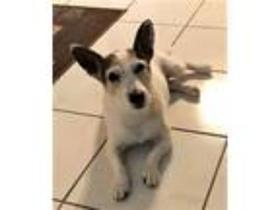 Adopt Cassie a White - with Black Jack Russell Terrier / Mixed dog in Sharon