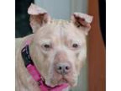 Adopt Gramma Tala a Tan/Yellow/Fawn Pit Bull Terrier / Terrier (Unknown Type