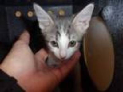 Adopt 3 a White Domestic Shorthair / Domestic Shorthair / Mixed (short coat) cat