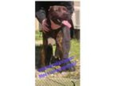 Adopt Bill Gorgeous Dark Brindle Young Urgent Death Row a Brindle Terrier
