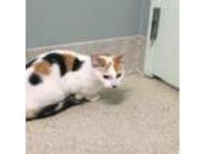 Adopt Chica a White Domestic Shorthair / Domestic Shorthair / Mixed cat in