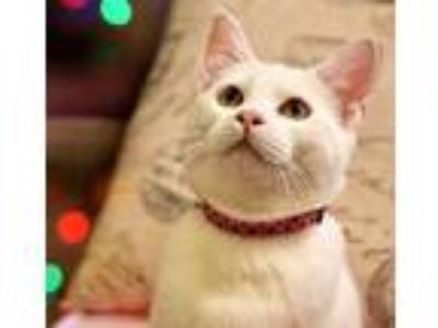 Adopt Cupcake (bonded to Muffin) a White Domestic Shorthair (short coat) cat in