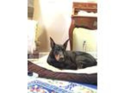 Adopt Cairo a Black - with Tan, Yellow or Fawn Doberman Pinscher dog in Cary