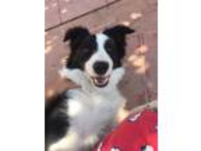 Adopt Tabatha a Black - with White Border Collie / Mixed dog in BONITA