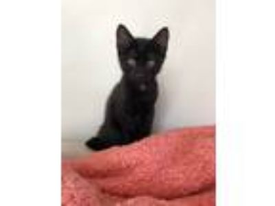 Adopt Theon a All Black Domestic Shorthair / Mixed cat in Bolton, CT (25801289)