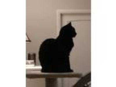 Adopt Jinx a All Black American Shorthair cat in Lafayette, LA (25739314)