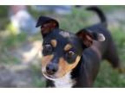 Adopt HEXI a Tricolor (Tan/Brown & Black & White) Miniature Pinscher / Mixed dog