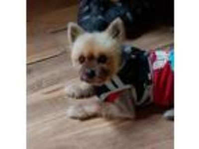 Adopt JW a Red/Golden/Orange/Chestnut - with White Pomeranian / Mixed dog in