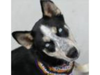 Adopt Mila 25633 a German Shepherd Dog, Australian Cattle Dog / Blue Heeler