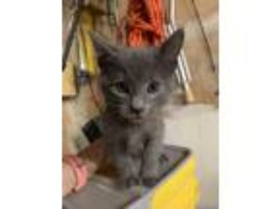 Adopt Gryffindor a Gray or Blue Domestic Shorthair cat in San Jose