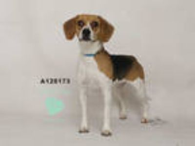 Adopt a Tricolor (Tan/Brown & Black & White) Beagle / Mixed dog in Corona