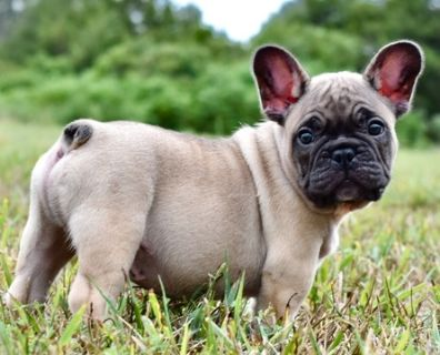 French Bulldog PUPPY FOR SALE ADN-98041 - Blue Fawn French Bull Puppies