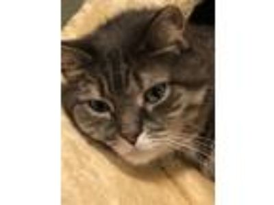 Adopt Rosy a Gray, Blue or Silver Tabby American Shorthair / Mixed cat in