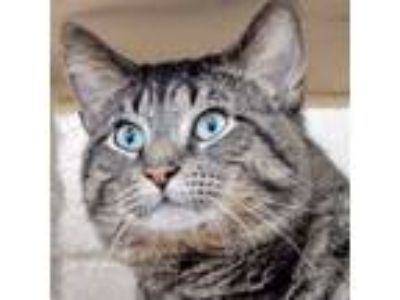 Adopt Xavier a Brown Tabby Domestic Shorthair (short coat) cat in New York