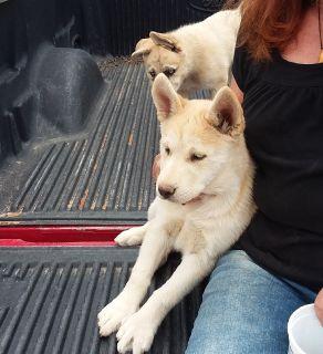 Beautiful Alaskan husky femalehi