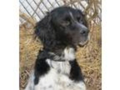 Adopt Sebastian-ADOPT PEND! a White - with Black English Setter / Mixed dog in