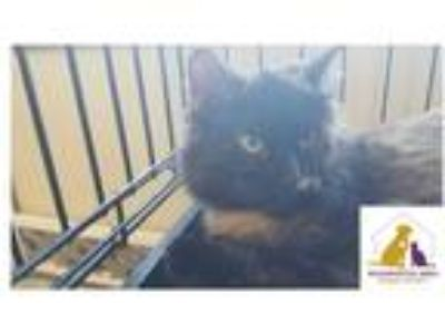 Adopt Sasha a Tortoiseshell Domestic Shorthair (medium coat) cat in Eighty Four