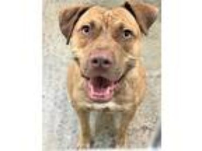 Adopt Ginger a Brown/Chocolate American Pit Bull Terrier / Labrador Retriever /