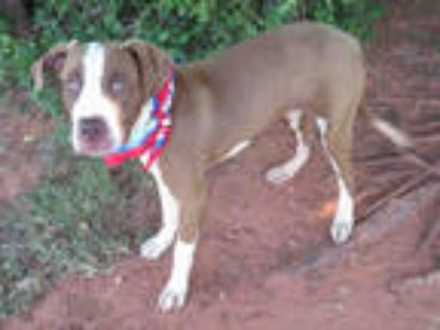 Adopt HAYES a White - with Brown or Chocolate Pointer / Mixed dog in Oklahoma