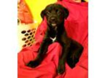 Adopt Arya a Black - with White Blue Heeler / Labrador Retriever / Mixed dog in