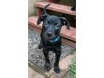 Adopt Gawky a Labrador Retriever