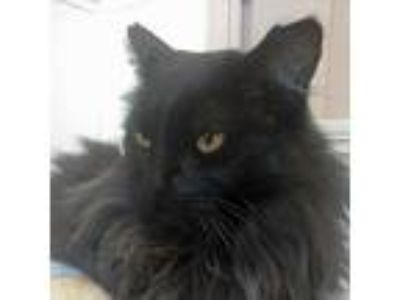 Adopt Owen a Domestic Long Hair
