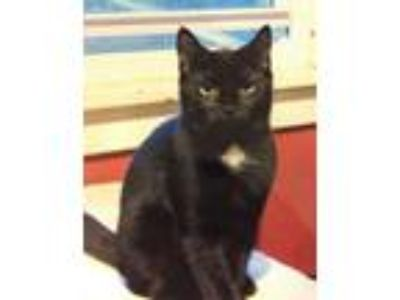 Adopt Winifred a Domestic Short Hair
