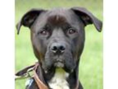 Adopt Tony a Black Mastiff / Rottweiler / Mixed dog in Huntley, IL (22927739)