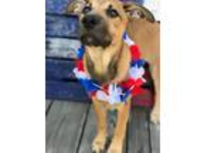 Adopt Maple a German Shepherd Dog