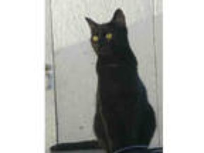 Adopt JACK a All Black Domestic Shorthair / Mixed (short coat) cat in Anchorage